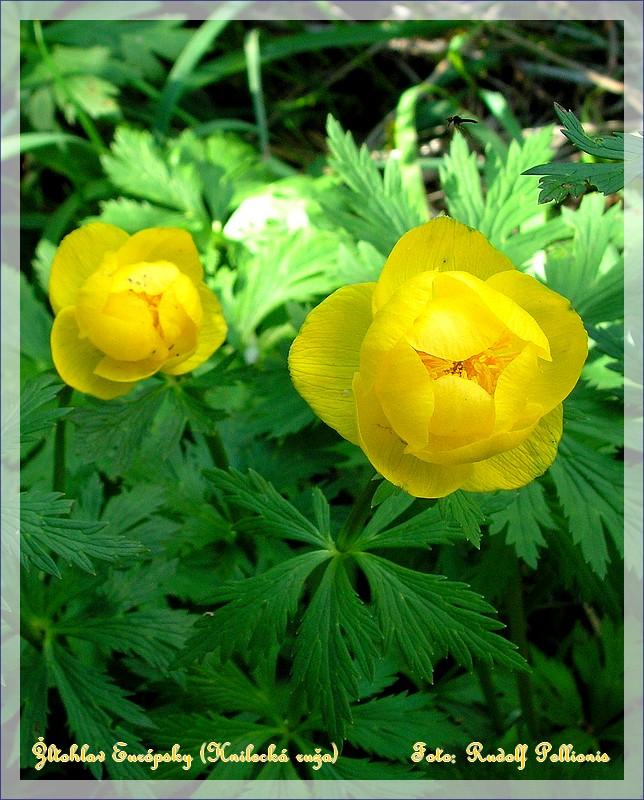 Žltohlav Európsky v okolí Dobšinej zvané aj Hnilecká ruža